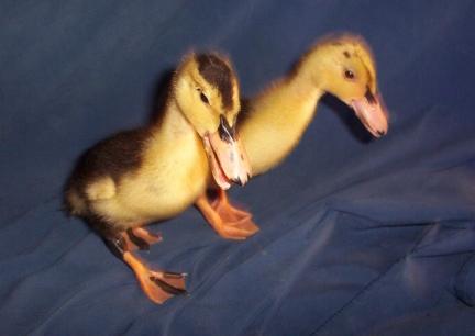 Ducks In Diapers - Duck Breeds