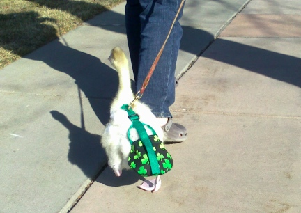 Dinah Walking Away on the Sidewalks of Rapid City, SD 2012-03-12
